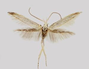 wingspan 13,5 mm