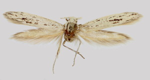 wingspan 17 mm