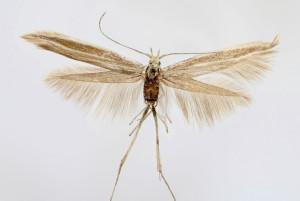 wingspan 16 mm