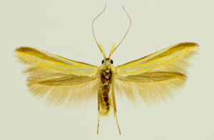 Macedonia, Negotino, 20. 6. 1997, ex Genista sp., leg., cult. & coll. Laštuvka A., det. Budashkin, wingspan  mm