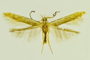 Graecia, wingspan mm
