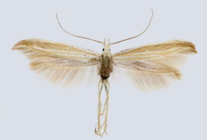 wingspan 18 mm