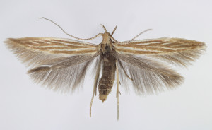 Slovakia, Spišská Nová Ves, 16. 6. 2013, ex larvae, leg., cult. & coll. Endel, wingspan 13 mm