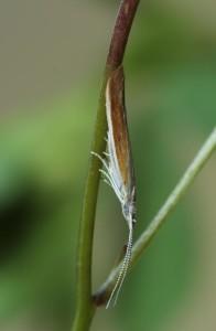 Slovakia, Černochoiv, 15. 6. 2013, ex larvae, Dorycnium sp., lgt. Ignác Richter