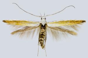 Spain, Costa Brava, Platja d´Aro, 600 m, 24. - 29. 7. 2002, leg. & coll. Šumpich, det. Richter Ig., wingspan 12 mm