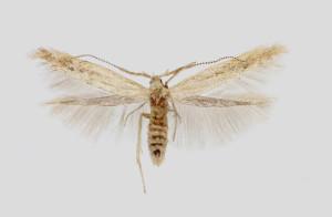 Coleophora binotapennella - kópia
