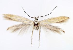 Slovakia, Smižany, 19. 5. 2013, leg. & coll. Endel, det. Richter Ig., wingspan 13 mm