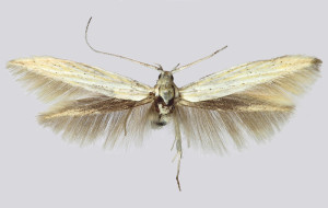 Slovakia, Semerovo, wingspan 18 mm