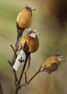 Coleophora nutantella, Malá Čausa, 18. 9
