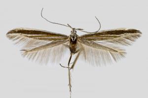 Spain, Soria, Villaciervos, 14. 6. 2018, leg. & coll. A. Laštuvka, det. Richter Ig., wingspan 14 mm