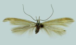 Romania, wingspan 16 mm