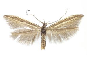 Hungary, Nagykovácsi Nagy szénás, 27. 7. 1970, ex Dianthus serotinus, leg. Szelényi, coll. TTMB, wingspan 15 mm