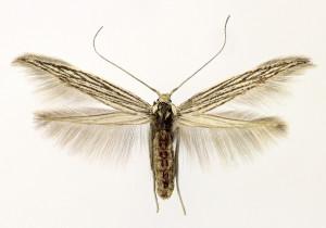 Macedónia, Prilep, 18. 9. 2013, ex larvae, Achillea coarctata, leg. & cult. Richter Ig., wingspan 15 mm