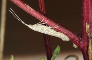 Macedónia, Prilep, ex larvae