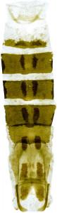 8 - 3856 Coleophora sergiella