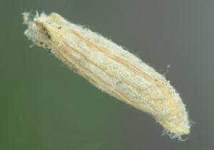 Coleophora adspersella (2)