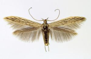 Slovakia, Tvrdošovce, 22. 6. 2013, ex Atriplex, wingspan 15 mm