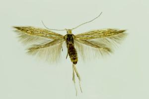 Slovakia, Streda nad Bodrogom, 31. 5. 2014, ex Artemisia campestris, leg., cult., det. & coll. Richter Ig., wingspan 11 mm