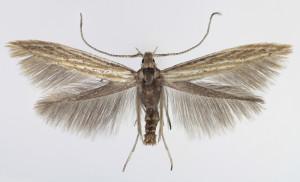 Slovakia, Spišská Nová Ves, 15. 7. 2013, leg. & coll. Endel, wingspan 10,5 mm