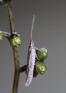 Tvrdošovce, 19. 8. 2013, ex larvae - Artemisia santonicum, cult. IgR.