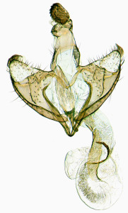 Coleophora-eurasiatica-Hungary-Nagykáta-Felsö-Tápió-v.-Nyírfás-ártér-27.-7.-2009-leg.-Buschmann-GP-16011-IgR-kópia.jpg
