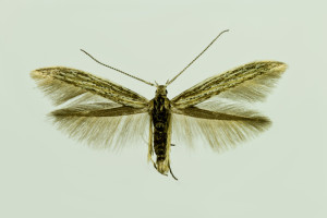 Slovakia, Streda nad Bodrogom, 7. 6. 2014, ex Artemisia campestris, leg., cult., det. & coll. Richter Ig., wingspan 14 mm