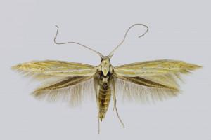 Spain, Barcelona, Borredá, 12. 6. 2017, leg. & coll. Laštuvka A., det. Richter Ig., wingspan 16 mm