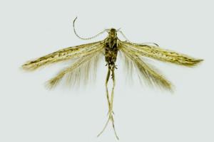Bulgaria, Pernik, Bosnek, 950 m, 9. 8. 2013, leg. Karsholt, det. Richter, coll. ZMUC, wingspan  mm