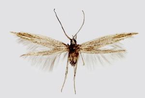 Hungary, Csákberény, Bucka-hegy, 26. 8. 2000, leg. Srnka, det. Baldizzone, wingspan 10,5 mm