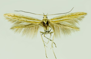 Macedónia, Prilep, 6. 6. 2014, leg., det. & coll. Richter Ig., wingspan 17 mm