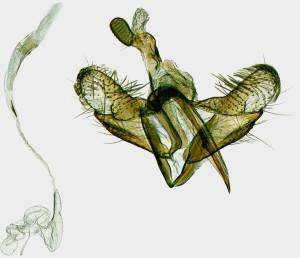 Coleophora-narbonensis-Hungary-Csákberény-Bucka-hegy-7.-5.-2003-leg.-Richter-Ig.-GP-19521-IgR-kópia.jpg