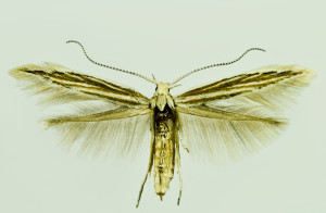 Slovakia, Valaská Dubová, 2. 8. 2014, ex Primula auricula, leg., cult., det. & coll. Richter Ig., wingspan 15 mm
