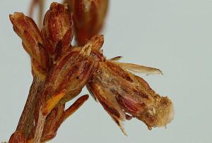 Artemisia santonicum, október 2012