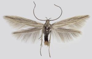 Slovakia, Východná, 7. 7. 2013, leg. & coll. Endel, wingspan 12 mm