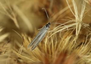 Slovakia, Tvrdošovce, 5. 6. 2013, ex larvae, Erigeron sp.