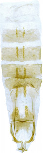 41 - 2814 Coleophora nomgona abd.