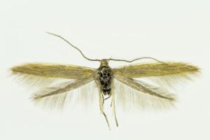 Hungary, Csákberény, Bucka-hegy, 30. 4. 2014, leg. & coll. Richter Ig., det. Tabell, wingspan 13 mm