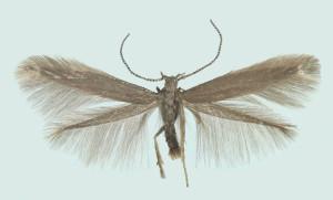 Latvia, Rig. Garupe, ex larvae, 20.-27. 7. 2007, ex coll. H. Roweck, det. Savenkov, coll. Tokár, wingspan 11 mm
