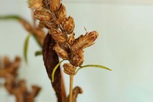 Artemisia sp., 18. 10. 2012