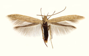 Germany: SH Westerhever, ex. larvae - Suaeda, lgt. C. Rickert, det. N. Savenkov, wingspan 12 mm