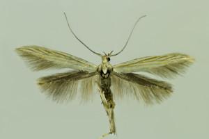 Hungary, Örkény, 16. 6. 2014, ex Alkanna tinctoria, leg., cult., det. & coll Richter Ig., wingspan 17 mm