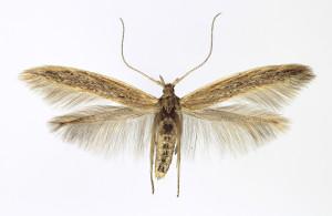 Slovakia, Tvrdošovce 14. 6. 2013 ex larvae Atriplex litoralis, wingspan 16 mm