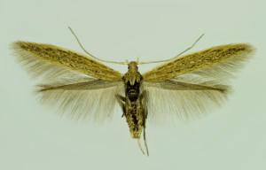 Slovakia, Tvrdošovce, 27. 6. 2014, ex Atriplex litoralis, leg., cult., det. & coll. Richter Ig., wingspan 14 mm