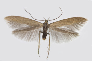 Slovakia, Východná, 7. 7. 2013, leg. & coll. Endel, wingspan 15 mm