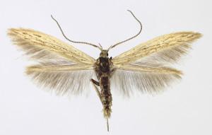 Slovakia Tvrdošovce 21. 6. 2013, leg. Richter Ig., wingspan 13,5 mm