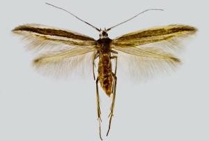 Spain, Alicante, Sierra de Orchetta, Finestra env., 28. 9. 2005, leg. & coll. Šumpich, det. Richter Ig. wingspan 14 mm