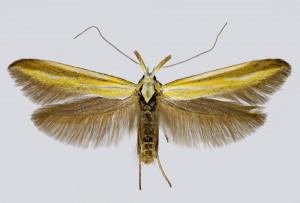 Macedonia, Pepelište, 27. 5. 2017, ex l., Hedysarum macedonicum, leg., det. & coll. Richter Ig., wingspan 19 mm