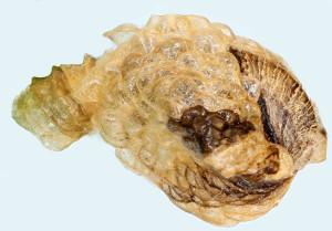 ex trifolium