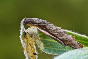 Coleophora cf. impalella, Bélmegyer (7)