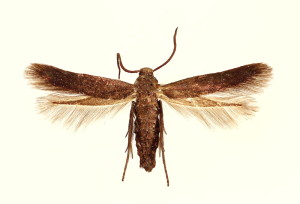 wingspan 9,5 mm